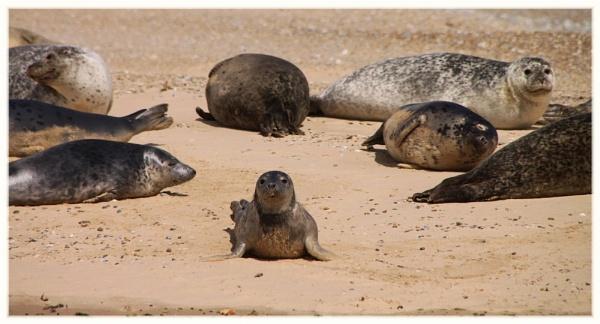 Blakeney Point Seals by Ruthannette