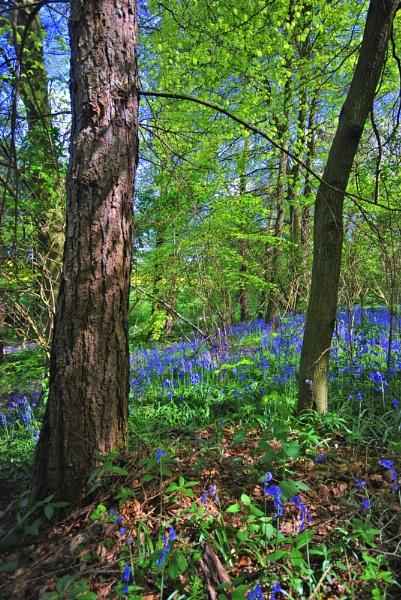Bluebells in May by LAMSPICS
