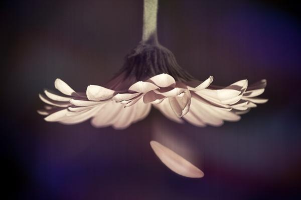 The First Fallen Petal by lemonnelly