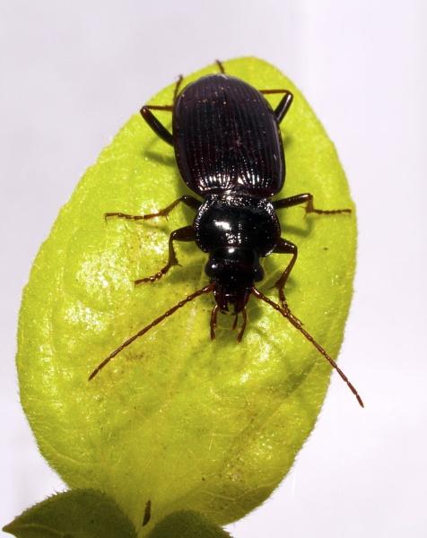 Beetle by Nick_potts