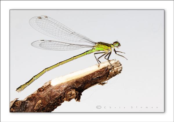 Emerald Damselfly by Sloman