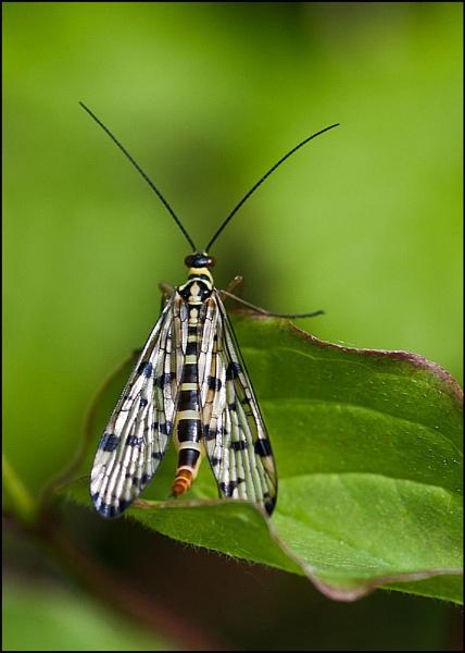 Panorpa Fly by paddyman
