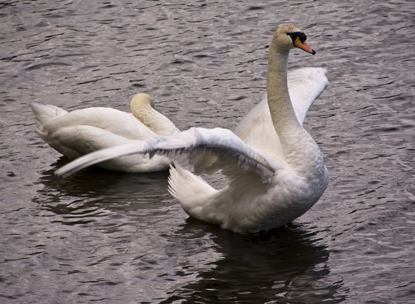 Swan Dance by DundeePhotographics