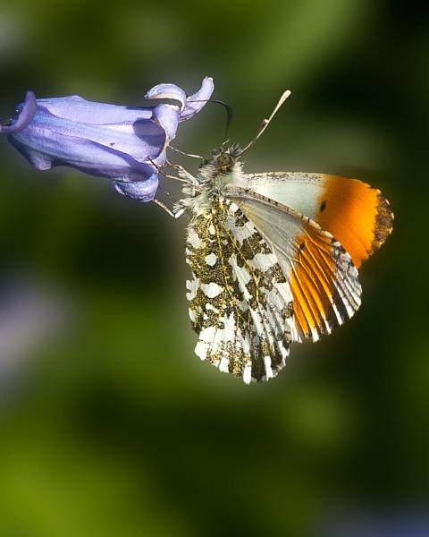 Orange-tip on Bluebell by Alan_Baseley