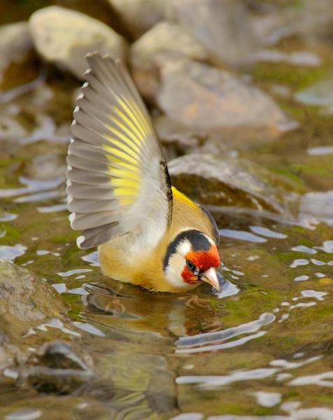 GOLDFINCH BATHING by runco36