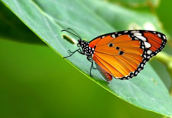 Monarch by dentex