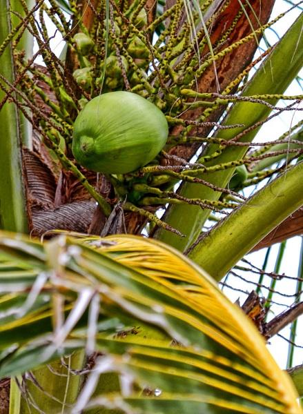 Kokos by dentex