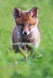 Pretty fox cub