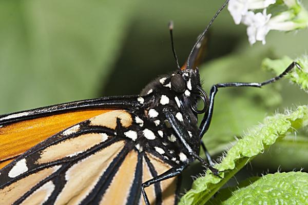 Orange Swallowtail Butterfly by lj090876