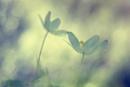 wood anemone IV