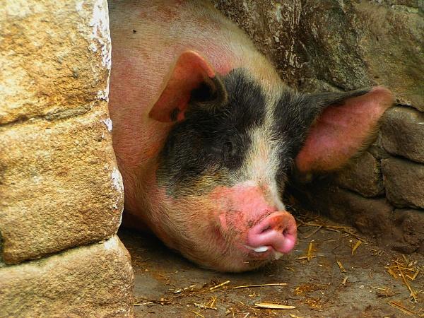 Pig nap by Lightthouseman