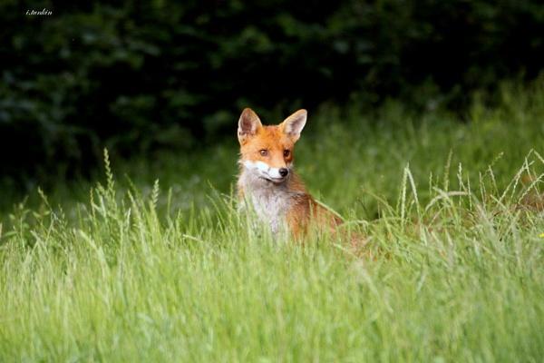 urban fox by hotwings