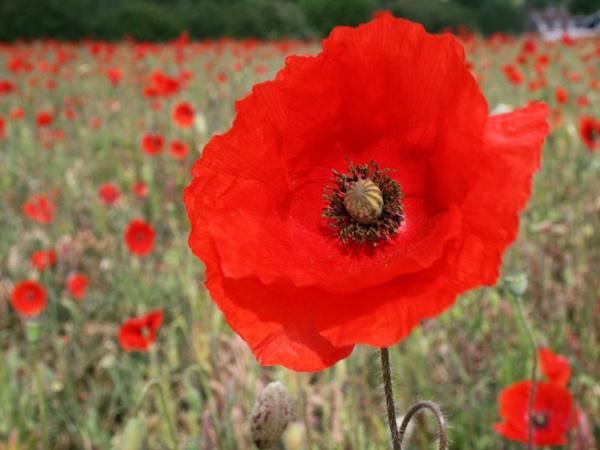 Poppy Field by nbatchford