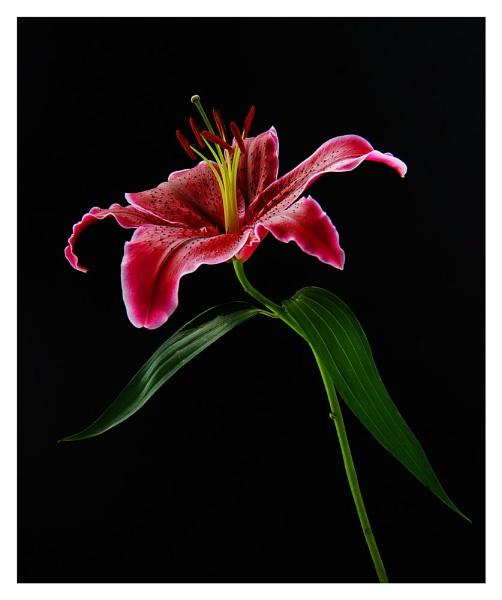 Portrait of a lily by KENZIEBOY