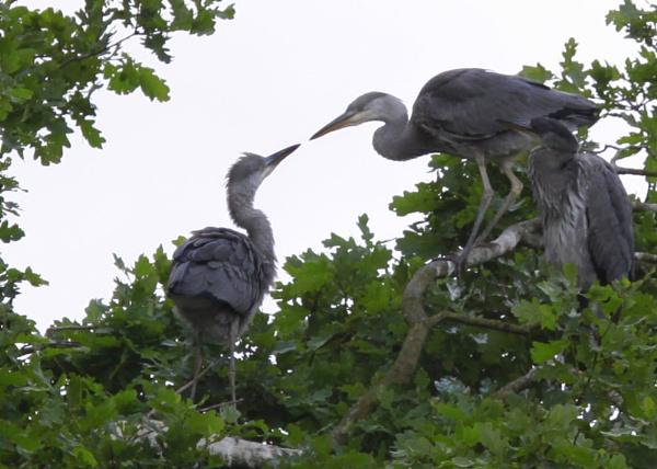 Herons feeding by SalPot77