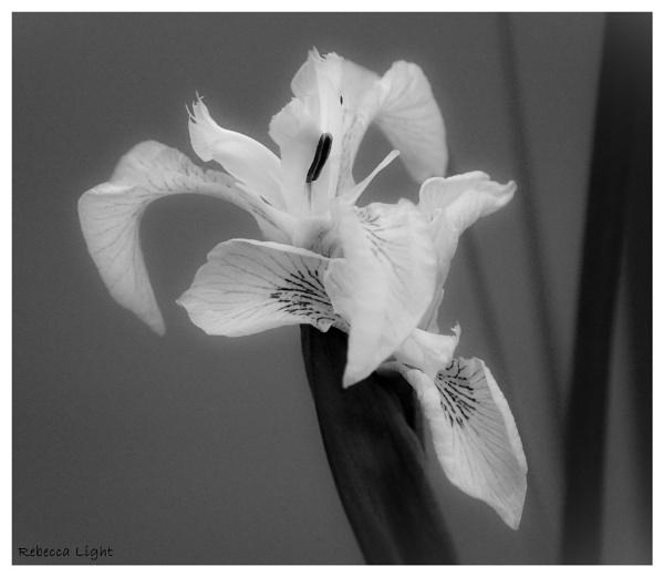 Iris by beckybookins