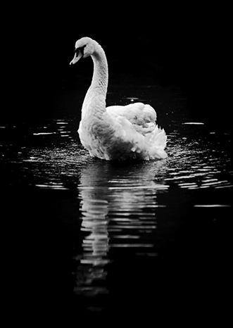 Swan by LightsAndShadows