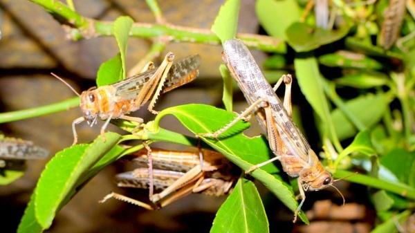 crickets by gixxergirl46