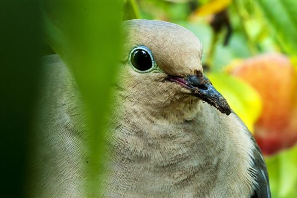 Mourning Dove Nesting #3 by gajewski