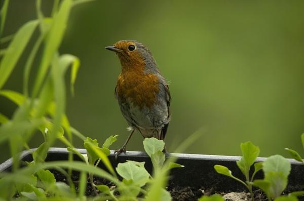 Robin....Erithacus rubecula by royd63uk