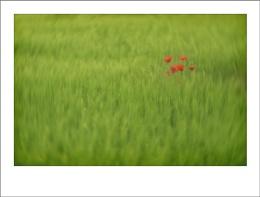 Poppies in Rye Field