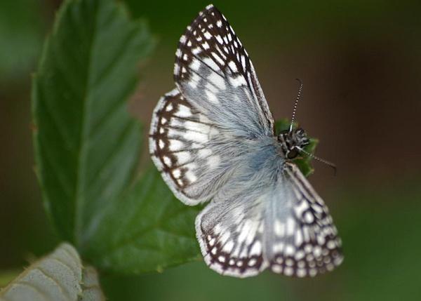 White Butterfly by wsteffey