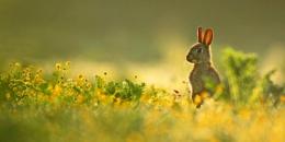 Back Lit Bunny