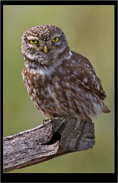 Wild Little Owl by jaymark1