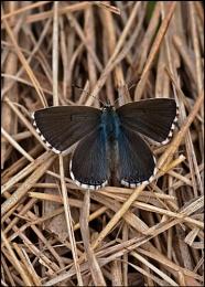 Female Adonis Blue