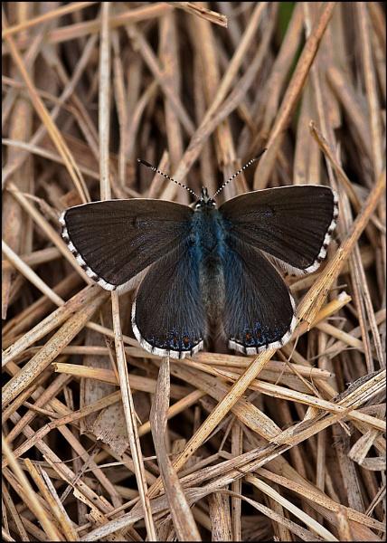 Female Adonis Blue by paddyman