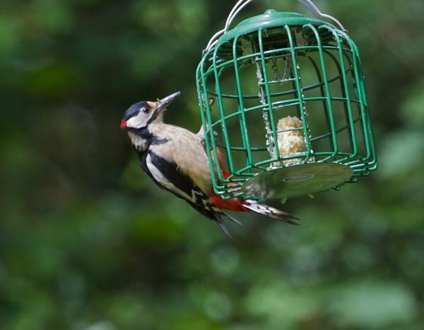 Greater Spotted Woodpecker by phil19belfield