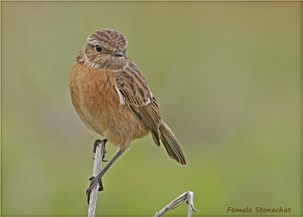 Mrs Stonechat by Lillian