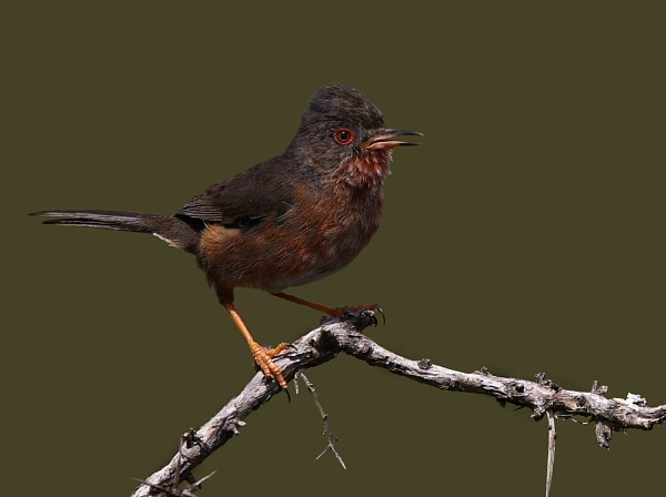 Dartford Warbler II by LukeParkinson