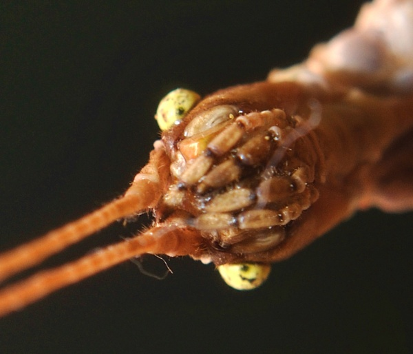 Head of Stick Insect by kiwi3636