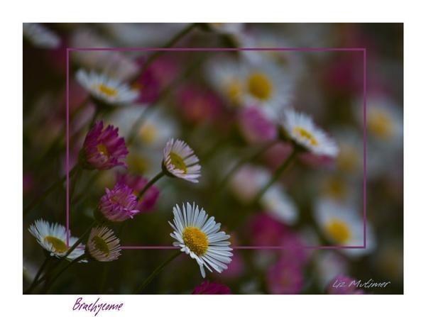 Brachycome by LizMutimer