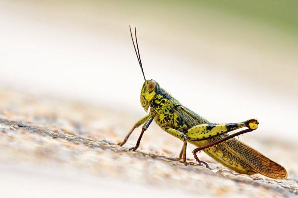 Grasshopper by dentex