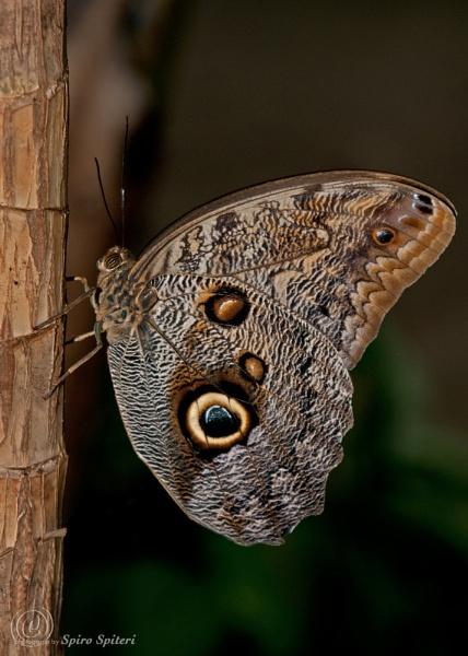 Butterfly by SpiroSpiteri