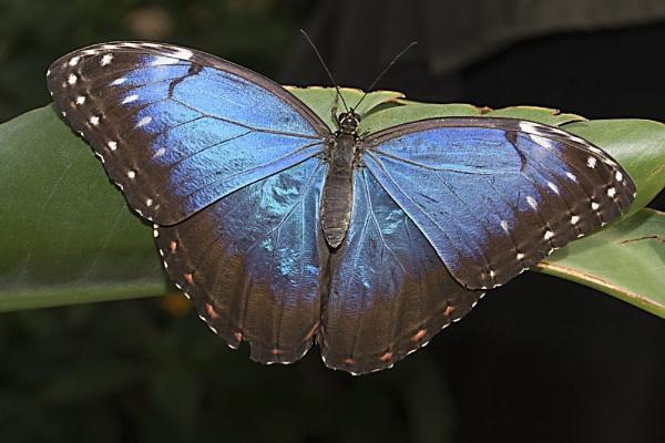 Blue Morpho by lj090876