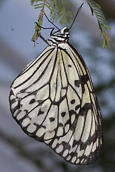 Tree Nymph Butterfly by lj090876