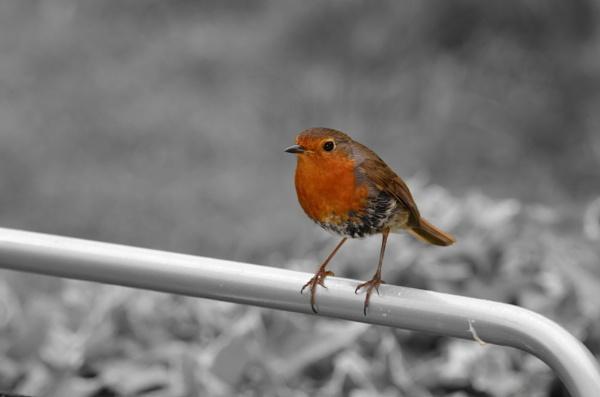 Robin by greenie