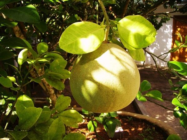 Melon tree? by Chinga
