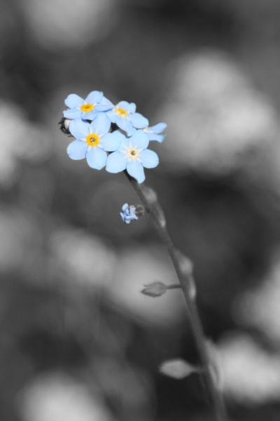 Forget me not (with hiding bee) by Gary_Dolby