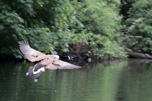 Goose in flight by SalPot77