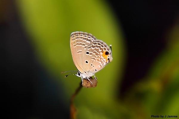 Butterfly by JJamree