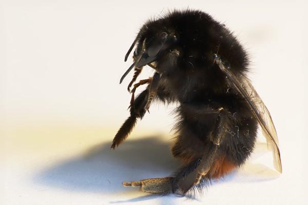 Bee by Stebinners