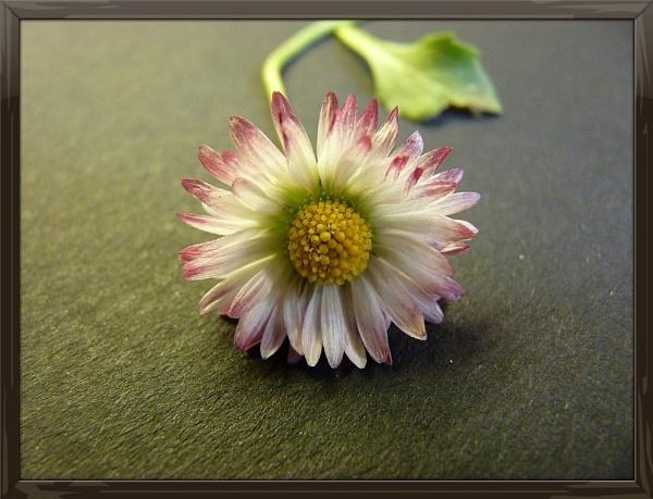 Daisy May by Starjadiz