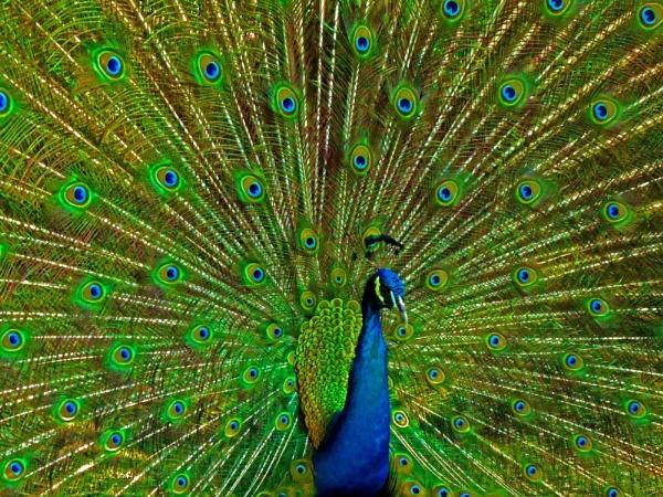 Peafowl Eyespots by lobski