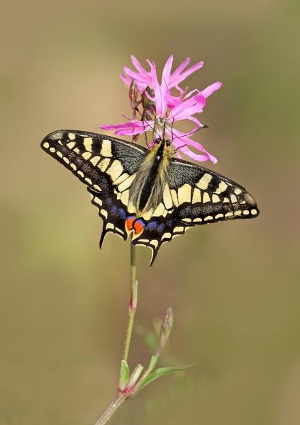 Swallowtail by Julian