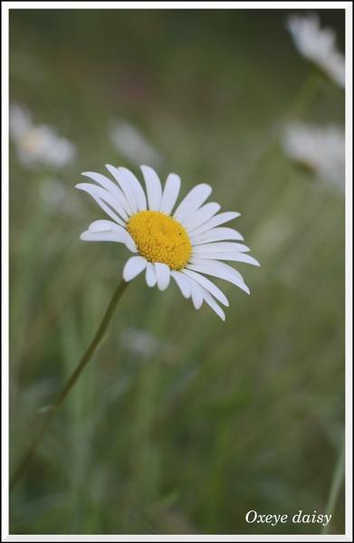 Oxeye daisy by MartPics
