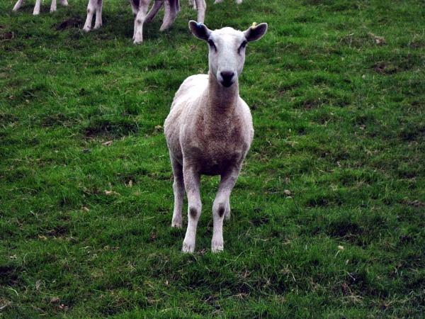 A \'Sheeps Tale\', by Brilane